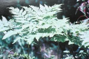 Sananjalka on tunnetuimpia taikoihin liittyviä kasvejamme.