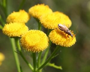 Voimakastuoksuinen pietaryrtti sekä houkuttelee että karkottaa hyönteisiä.