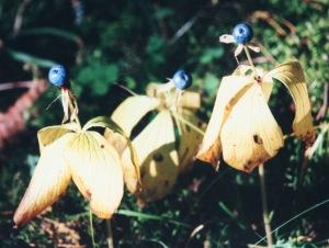 Mustikkaa muistuttava sudenmarja on tappavan myrkyllinen.
