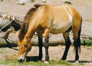 Uhanalainen przewalskinhevonen selviytyi sukupuuton partaalta eläintarhoissa hoidettujen yksilöiden ansiosta. Tarhaus on ollut niin onnistunutta, että ihmisen hoivissa syntyneitä hevosia on jo palautettu luontoon.