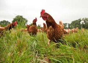 Lintuinfluenssan leviää pelottavan helposti siipikarjatilojen välillä muuttolintujen mukana varsinkin oloissa, josa tuotantoeläimet ovleskelevat vapaasti ulkosalla. Jos tuoreet näytöt tuulen mukana leviävistä viruksista pitävät paikkansa, taudin leviämisriski on paljon oletettua suurempi.