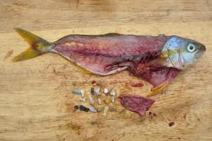 Kalojen sisuksista  löytyy suuriakin muovikappaleita, joita se on syönyt luultuaan niitä saaliseläimiksi. Tällaisten kappaleiden lisäksi – ja yhtä vaarallisina – kalat nielevät mikroskooppisen pieniä muovirihmoja ja hiukkasia.