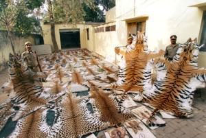 Salametsästäjiiltä takavarikoituja suurten kissojen taljoja: kolmen tiikerin ja 50 leopardin taljat New Delhissä viranomaisten suojissa.