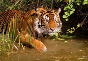 Tiikeri on tätä nykyä erittäin uhanalainen ja tiukasti suojeltu laji, jonka päälevinneisyysalue on Intiassa..
