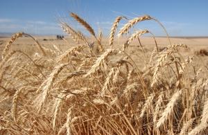 Vehnän satotasoja ja ravinneominaisuuksia on kehitetty huomattavasti jalostuksen keinoin, mutta jyvien gluteenipitoisuudet eivät ole merkittävästi muuttuneet.