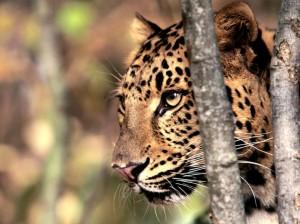 Amurinleopardit ovat levittäytymässä suppealta Venäjän Primorjen alueelta myös Kiinaan ja Pohjois-Koreaan.