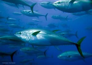 Tonnikalat vaeltavat valtamerissä jopa tuhansia kilometrejä, muun muassa Japanin vesiltä Yhdysvaltain länsirannikolle.