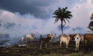 Karjatalouden tunkeutuminen sademetsien alueelle on Amazonian luonnon pahin uhka.