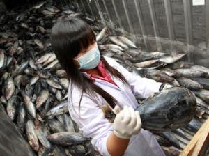 Fukushiman ydinvoimalan lähivesiltä on jatkuvasti pyydetty kaloja tutkimustarkoituksiin. Varsinainen kalastustoiminta kiellettiin heti voimalaturman jälkeen. Merikalojen radioaktiivisuus on noussut ja säilynyt hyvin korkeana.