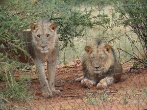 Afrikassa tarvitaan aitoja pikemminkin pitämään ihmiset loitolla kuin estämään leijonia pääsemästä ulos.