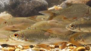 Tanskalaiset, järvistä ajoittain jokiin vaeltavat särjet osoittavat   käyttäytymisen voivan vähentää syödyksi tulemisen riskiä.