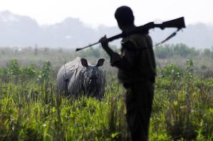 Intialaisen Kazirangan kansallispuiston vartijat ovat valmiita vaikka aseelliseen taisteluun salametsästäjiä vastaan  puolustaessaan uhanalaisia sarvikuonoja.
