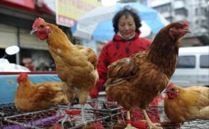 Kanat ovat vakavasti otettava kandidaatti etsittäessä syyllistä uudenlaisen lintuinfluenssaviruksen ilmantumiseen Kiinassa. Siipikarjan torikauppaa Anhuin maakunnassa, jossa H7N9-tartunnan saanut potilas on sairaalassa teho-osastolla.
