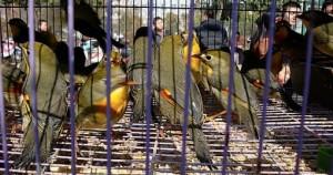 Kiinalaisilla toreilla myydään paljon eläviä lintuja paitsi syötäväksi myös palvotuiksi lemmikkieläimiksi.