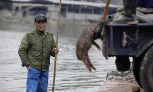 Tuntemattomasta syystä kuolleita ja tuntemattomasta osoitteesta tulleita sianraatoja on nostettu muun muassa Shanghain vesivarastona toimivasta Huangpo-joesta jo yli 16 000 ruhoa.