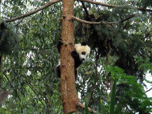Jättiläispanda tuntee olonsa turvattomaksi maan järistessä, ja pakenee suojaan puuhun.