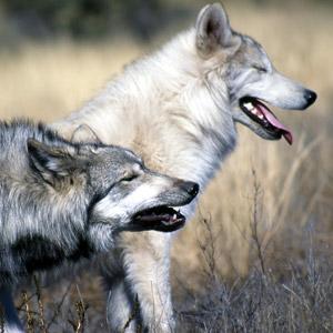 Susikanta on voimistunut erittäin nopeasti Yhdysvaltain länsiosissa, joista laji oli metsästetty paikalliseen sukupuuttoon. Esimerkiksi Yellowstonen kansallispuistossa elää tätä nykyä yli 320 sutta.