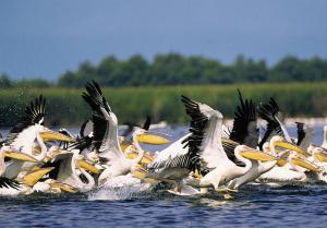 Pelikaanit ovat Tonavan suistoalueen tunnetumpia asukkaita.