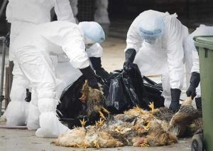 Siipikarjan teurastus on ikävän tuttua kiinalaisille. Miljoonia lintuja jouduttiin tappamaan vuonna 2011 riehuneen intuinfluenssaepidemian aikana.