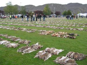 Pääsiäispupujen tappaminen on todellinen kansanjuhla Uudessa-Seelannissa. Vuoden 2013 saalis oli yli 23 000 haittaeläimiksi luokiteltua kania.