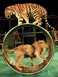 Tiikerien ja leijonien temppuilua ei voi enää jatkossa nähdä Britannian kiertävissä sirkuksissa.