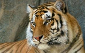 Tiikerin tulevaisuuden pahimmaksi uhaksi on muodostumassa lajin perintöaineksen köyhtyminen, ei niinkään yksilömäärän väheneminen.