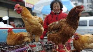 Lintutoreilla myytävä siiipikarja on osoittautumassa Kiinassa jo kymmeniä ihmisiä tappaneeksi epidemiaksi yltäneen H7N9-lintuinfluenssan lähteeksi.
