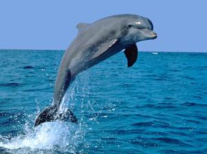 Intialaiset saavat ihalilla delfiineitä vain luonnossa, mutta onneksi heidän rannikoillaan ja joissaan vielä riittää näitä maan kansallisia vesieläimiä.