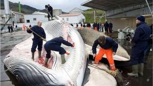 """Islanti uhmaa jatkuvasti kansainvälistä valaanpyyntikieltoa. Vuonna 2013 islantilaisten itse asettamassa """"kiintiössä"""" on 180 sillivalasta."""