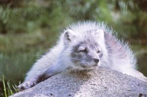Naali on uhanalainen laji, jonka muutenkin vaikeaa elämää ihmisen luontoon päästämät ympäristömyrkyt varjostavat.
