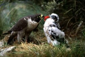 Muuttohaukat löytävät kalliojyrkänteiden kaltaisia pesimäpaikkoja myös suurkaupungeista, kunhan linnuille annetaan mahdollisuus myrkyttömään elämään. Pariisisa petolinnut saivat kolme poikasta Eifeltornin naapurissa.