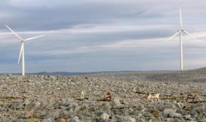 Norjalaiset porot viettävät normaalia elämää Finnmarkin maisemissa alueen tuulivoimaloista välittämättä.