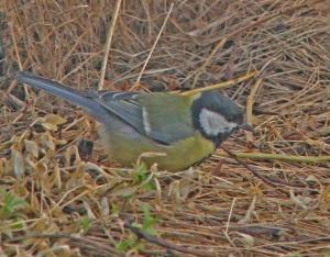 Talitiaiset ovat sopeutumiskykyisiä lintuja, joita kevään aikaistumisen aiheuttamat muutokset eivät hetkauta.