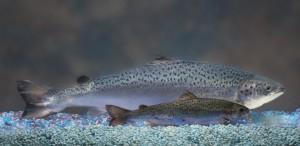 Saman ikäisten (18 kuukautta) ja samanlaisissa oloissa kasvaneiden geenimuunnellun merilohen ja luonnonvaraisen Atlantin merilohen vertailu osoittaa, miksi kaupalliset kalankasvattajat ovat hyvin kiinnostuneita saamaan jalostetun uutuuden tuotantoon.