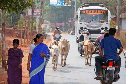 Lehmät Goan arjessa: Tasa-arvoa liikenteessä.