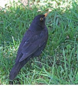 Kaupungissa asuva mustarastas aloittaa aauisen laulunsa noin puoli tuntia aikaisemmin kuin maaseudulla tai metsässä elävä lajikumppaninsa.