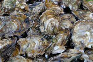 Osterien kallikuorien rakenne heikkenee, jos merivedet happamoituvat.