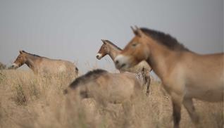 Aikanaan jo sukupuuton partaalle harvinaistuneet przewalskinhevoset palasivat onnistuneiden tarhausten ansiosta alkuperäisille  Kiinan koillisosien laidunmailleen  vuosikymmenien  poissaolon jälkeen.