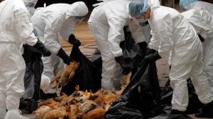 Myynnissä olevien lintujen teurastukset aloitettiin Shanghaissa alle viikon kuluessa ensimmäisen H7N9-tartunnan havaitsemisesta.