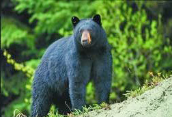 Mustakarhu hävitettiin Yhdysvaltain keskilännestä lähes sukupuuton partaalle, mutta tätä nykyä vahvistunutta petokantaa voidaan jo jopa metsästää.