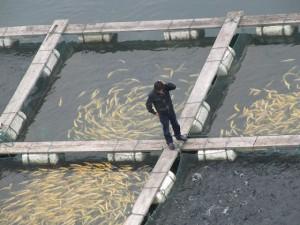 Kalankasvatus lisääntyy niin paljon, että jo pian maailmassa syödään jo enemmän ihmisen viljelemää kuin meristä pyydettyä kalaa. Naudanlihan tuotantomäärät kalankasvatus on jo ohittanut.