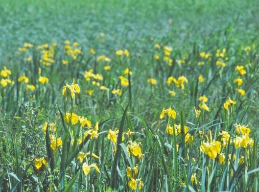 Kurjenmiekka menestyy erityisen hyvin rehevöityneissä, jopa muille kasveille mahdottomissa hapettomissa kosteikoissa.