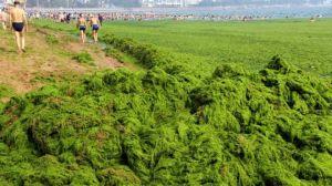 Kiinalaiset ovat saanet tottua jokakesäisiin viherlevien massaesiintymisiin Keltaisenmeren rannoilla.