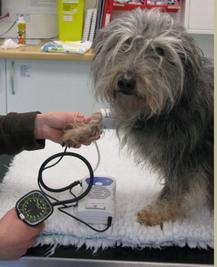 Koiran verenpaine on istuvassa asennossa mitattaessa huomattavasti korkeampi kuin makuulla tehdyssä mittauksessa.