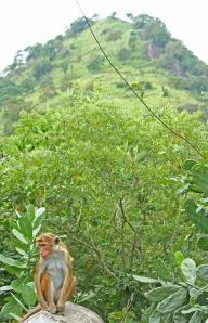 Makakiapinat viihtyvät hedelmäpuita kasvailla seuduilla, mutta luonnon ravintovarojen käydessä niukoiksi eläimet voivat olla todellinen riesa puutarhoille ja viljelyksille.