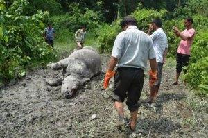 Vuoden 27. salakaadettu syksisarvinen sarvikuono – tosin löytöhetkellä tietysti jo sarveton – Kazirangan kansallispuistossa, Intiassa.