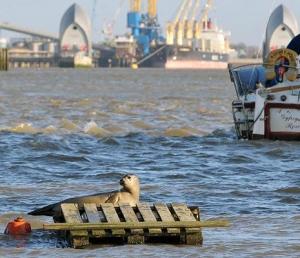 Thames-joessa voi nähdä hylkeen vaikka kuuluisan Lontoon tulvapadon tuntumassa.