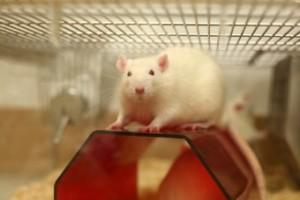 Korvaavien menetelmien kehitystyöstä huolimatta Britanniassa käytetään vuosittain miljoonia eläviä koe-eläimiä, joista hiiret ovat selvästi yleisin ryhmä.