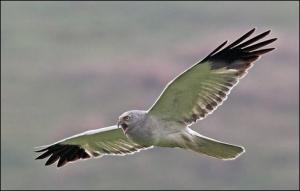 Vain joitakin vuosikymmeniä sitten Brittein saarilla eli useita satoja sinisuohaukkapareja, mutta nyt laji on häviämässä saarivaltakunnasta.