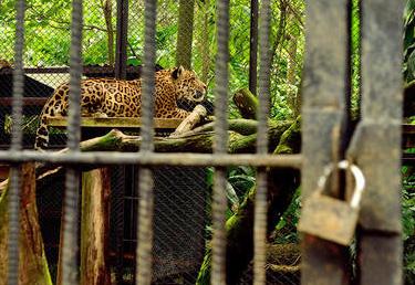 Jaguaari ja muut Simón Bolívar Zoo -eläintarhan asukit pääsevät pois kalterien takaa.